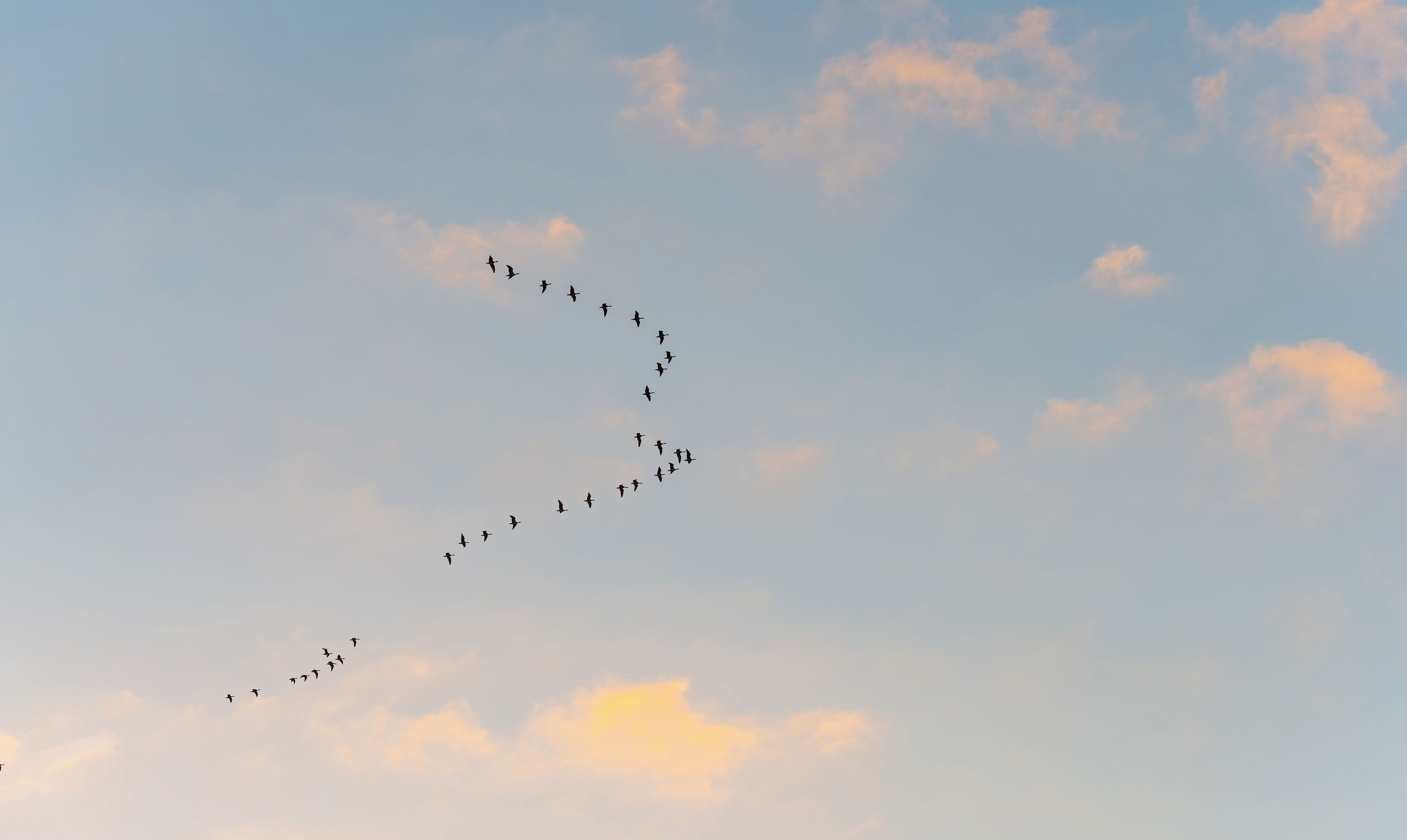 51533024 – flock of geese flying in a sunny sky in winter